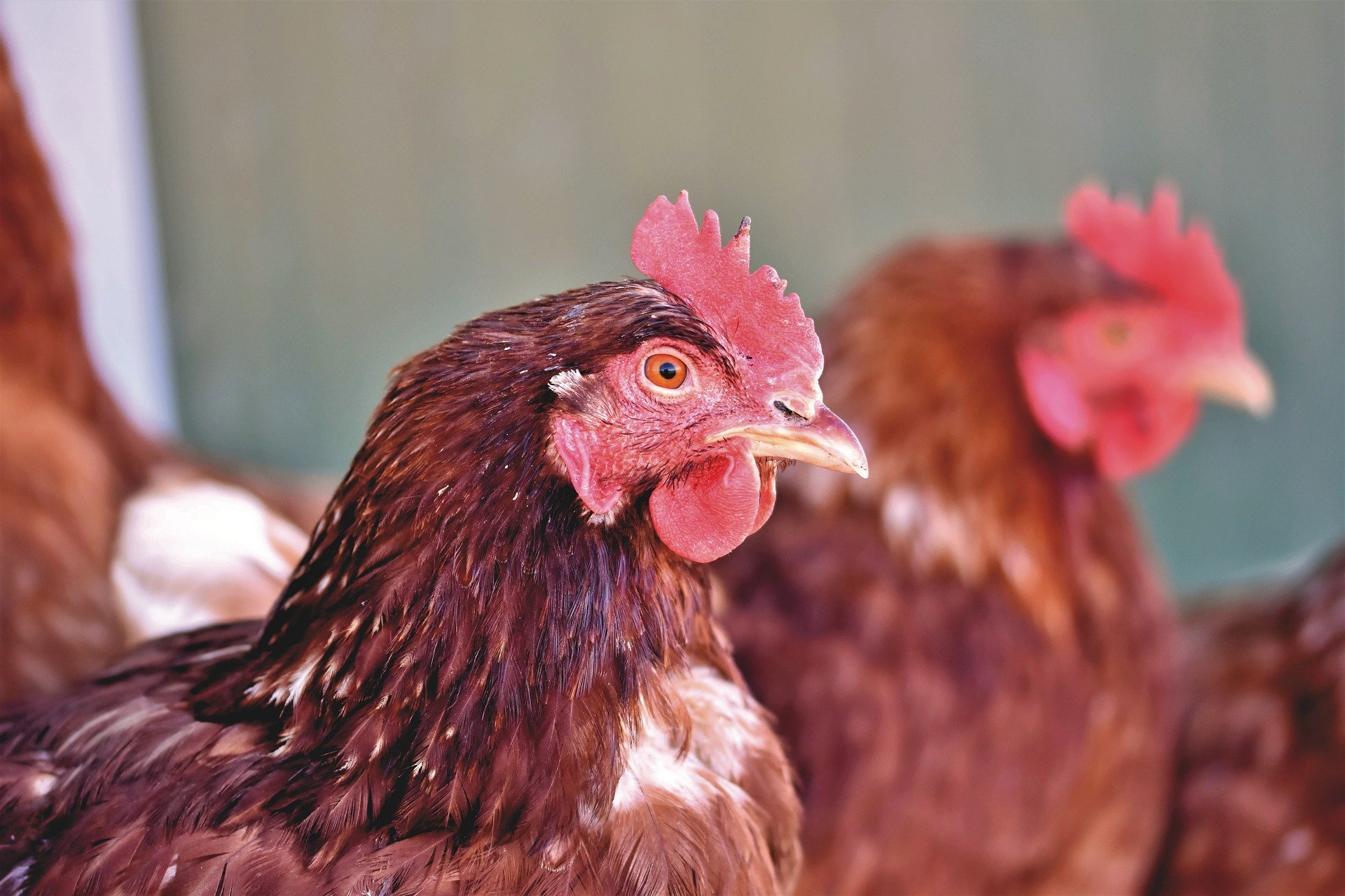 Biosecurity: Improving the Long-Term Sustainability of the Poultry Industries