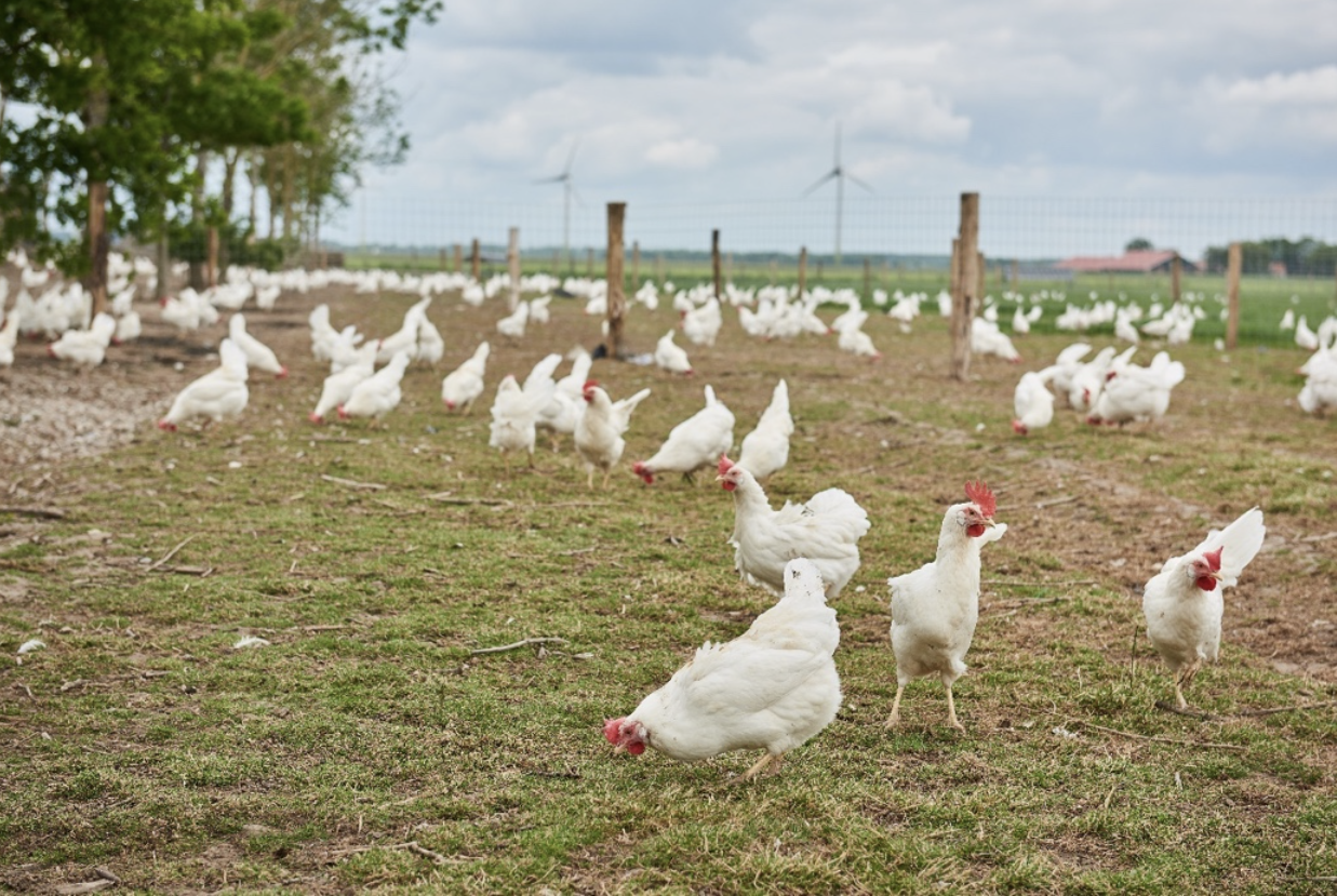 Cage-Free Egg Production – What Does This Mean?