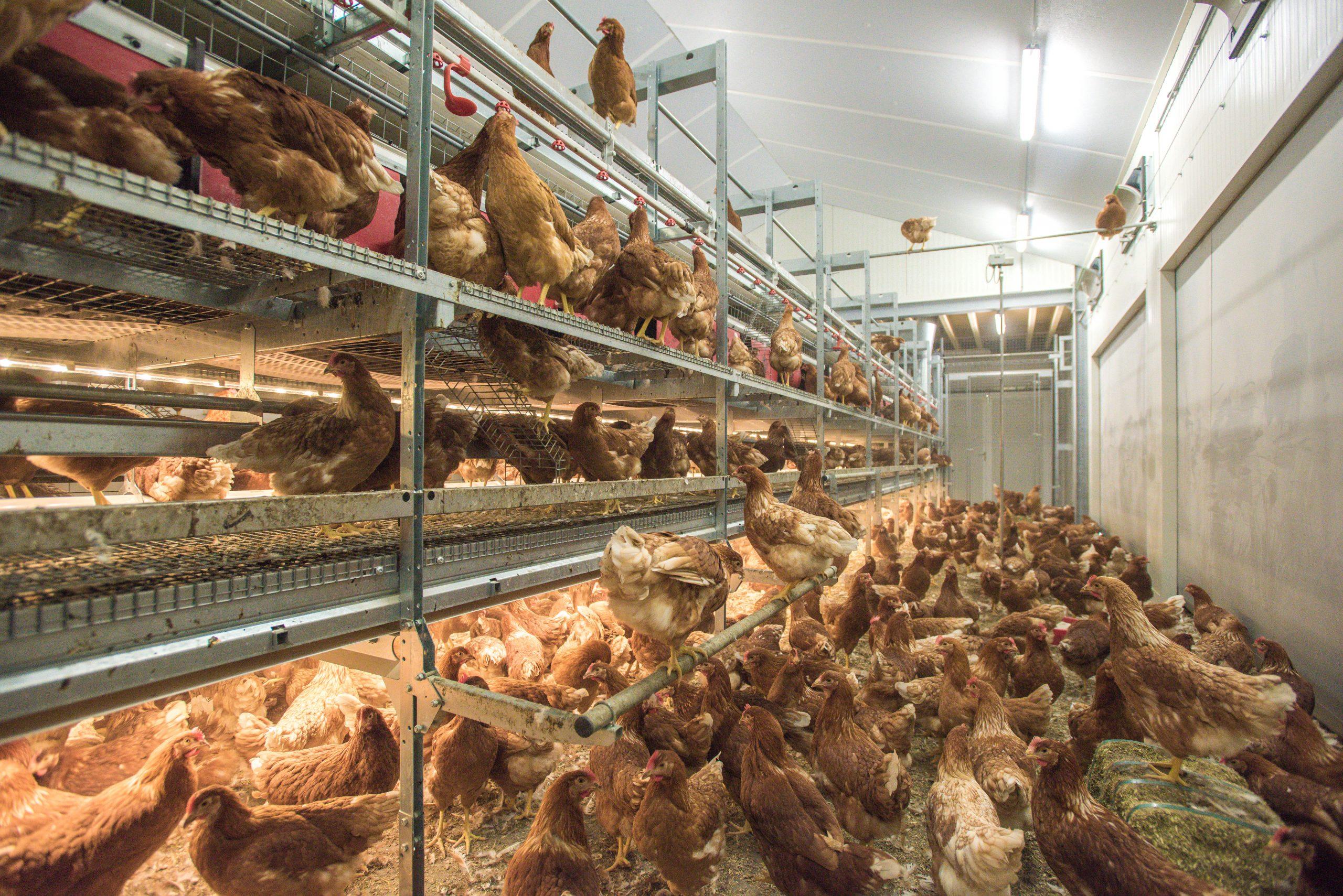 蛋鸡动物福利基准:评估非笼养蛋鸡福利的工具